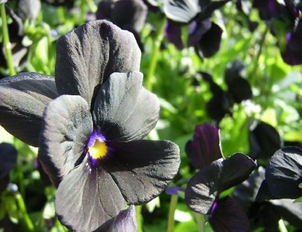 personaliza-tu-jardin-con-plantas-y-flores-negras-04