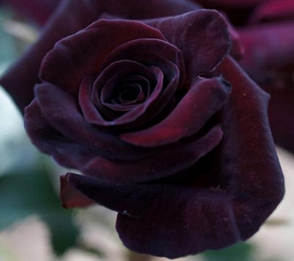 personaliza-tu-jardin-con-plantas-y-flores-negras-07