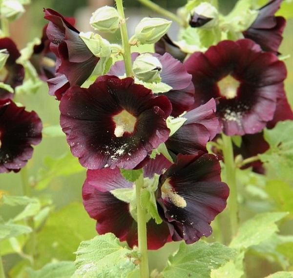 personaliza-tu-jardin-con-plantas-y-flores-negras-08