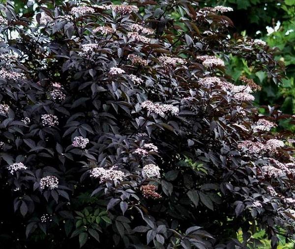 personaliza-tu-jardin-con-plantas-y-flores-negras-10