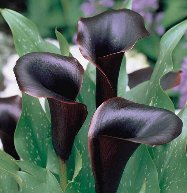 personaliza-tu-jardin-con-plantas-y-flores-negras-11