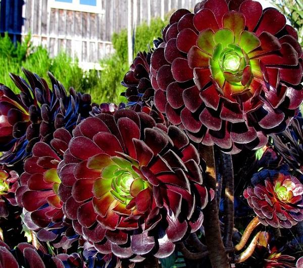 personaliza-tu-jardin-con-plantas-y-flores-negras-13