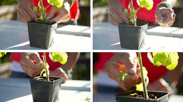 10-tips-para-tener-una-excelente-cosecha-de-tomates-01