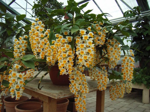 Dendrobium-thyrsiflorum-7