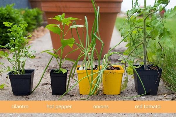 como-plantar-un-jardin-de-salsa-06