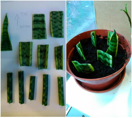 como-propagar-las-plantas-de-interior-06