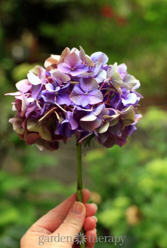 como-secar-hortensias-sin-que-pierdan-su-color-01