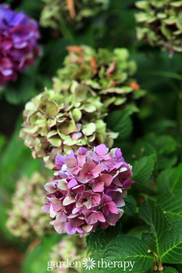 como-secar-hortensias-sin-que-pierdan-su-color-02