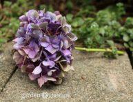 Gu a de jardiner a informaci n t nicas y consejos tiles - Como secar hortensias ...