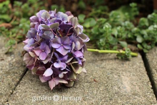 como-secar-hortensias-sin-que-pierdan-su-color-04