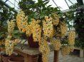 imagen Conoce la orquídea Dendrobium thyrsiflorum