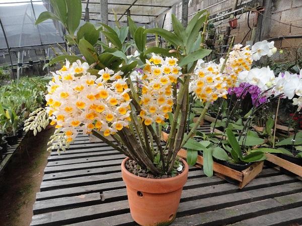 conoce-la-orquidea-dendrobium-thyrsiflorum-02