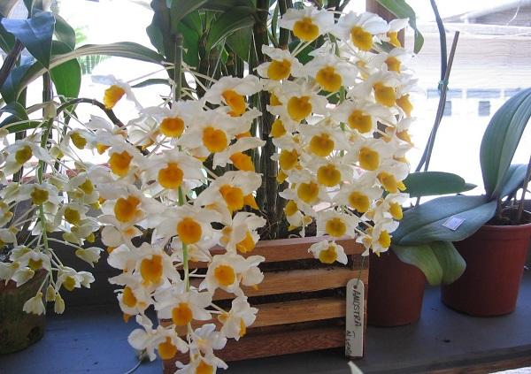 conoce-la-orquidea-dendrobium-thyrsiflorum-03