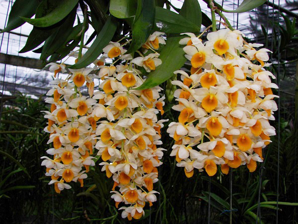 conoce-la-orquidea-dendrobium-thyrsiflorum-04