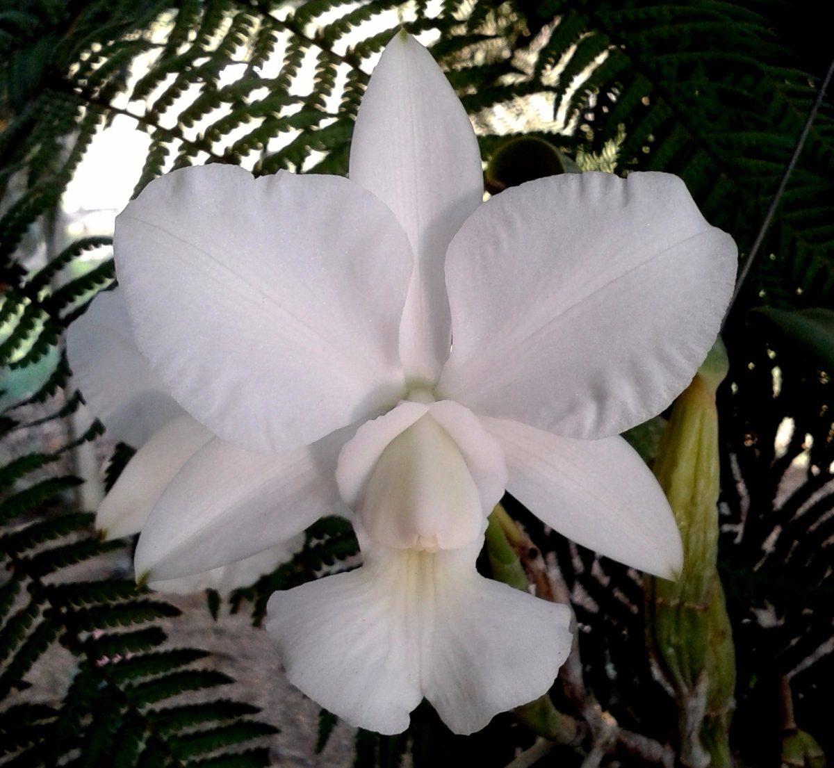 cultivo-de-la-orquidea-cattleya-walkeriana-03