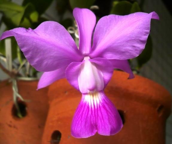 cultivo-de-la-orquidea-cattleya-walkeriana-04