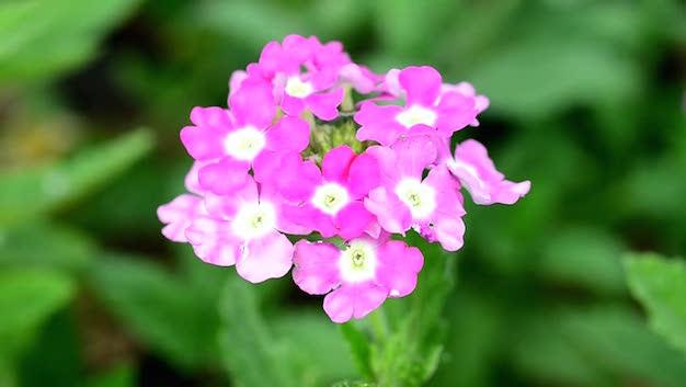 flor-de-verbena-1