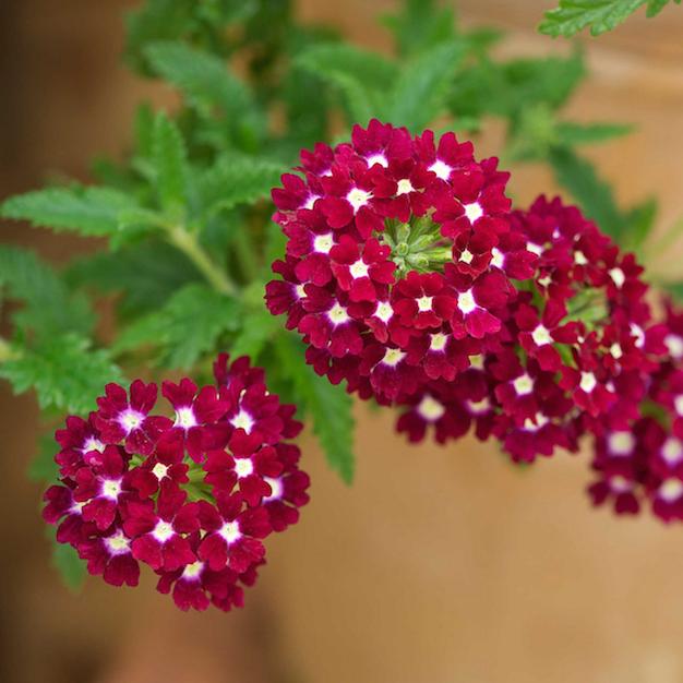 flor-de-verbena-2