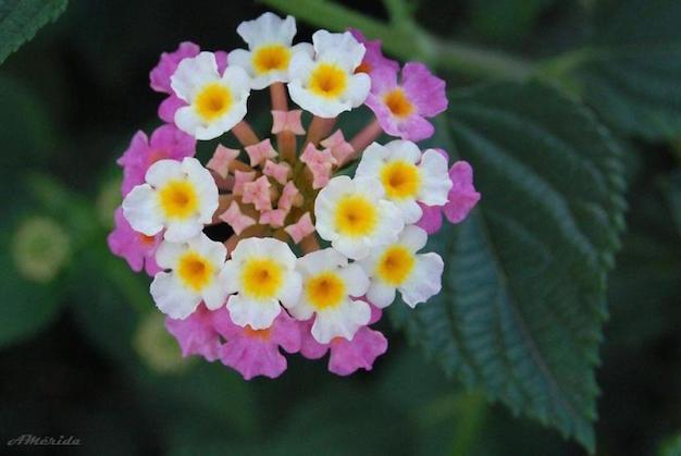 flor-de-verbena-3