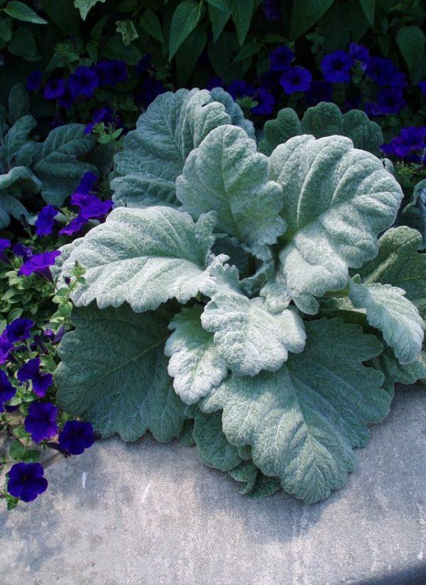 las-mejores-plantas-de-hojas-plateadas-01