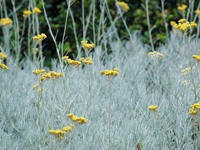las-mejores-plantas-de-hojas-plateadas-03
