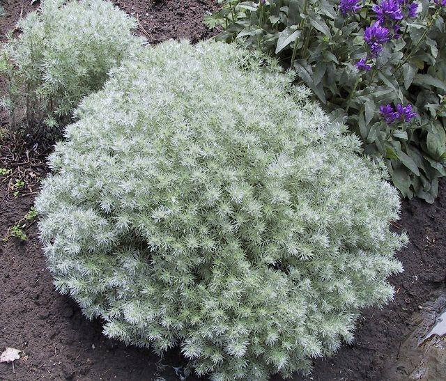 las-mejores-plantas-de-hojas-plateadas-05