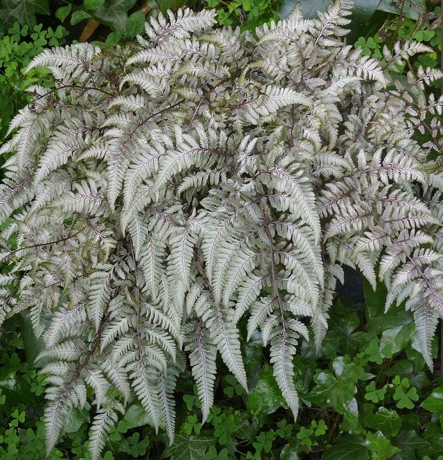 las-mejores-plantas-de-hojas-plateadas-06