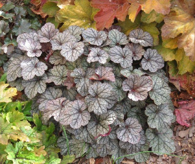las-mejores-plantas-de-hojas-plateadas-07