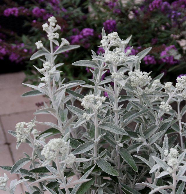 las-mejores-plantas-de-hojas-plateadas-08