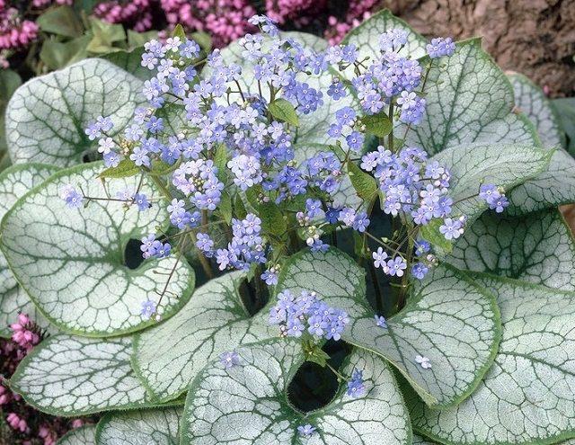 las-mejores-plantas-de-hojas-plateadas-10