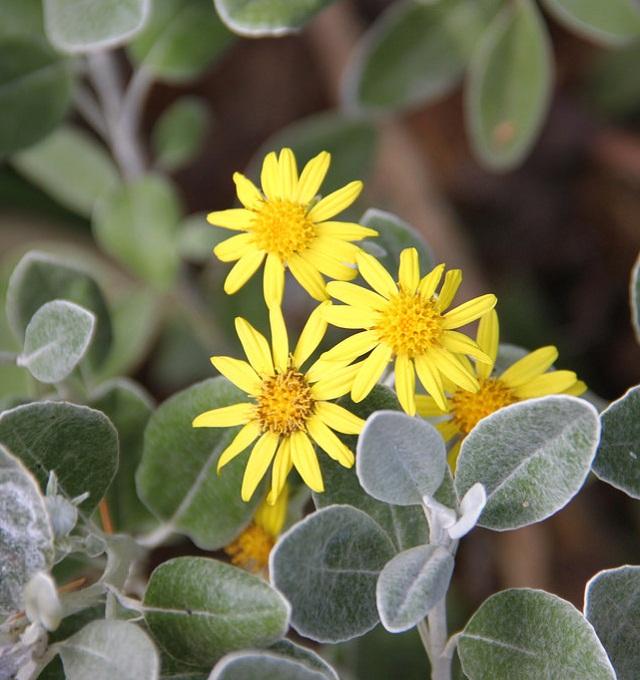 las-mejores-plantas-de-hojas-plateadas-12