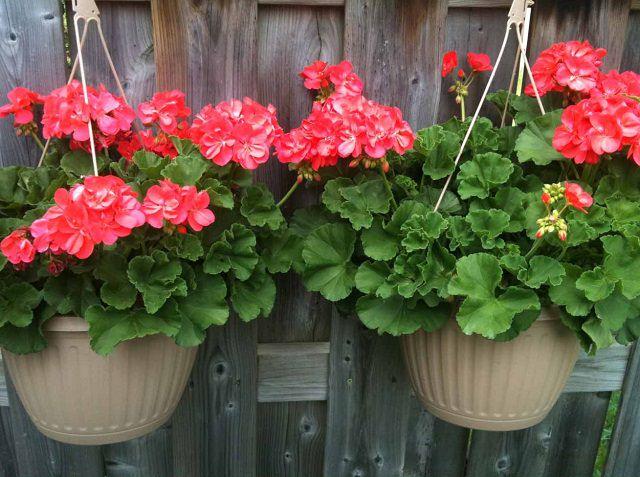 Las mejores plantas para cestas colgantes - Plantas colgantes ...