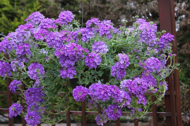 las mejores plantas para cestas colgantes 09 - Plantas Colgantes Exterior