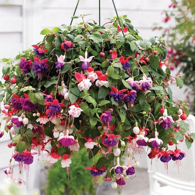 las mejores plantas para cestas colgantes 10 - Plantas Colgantes