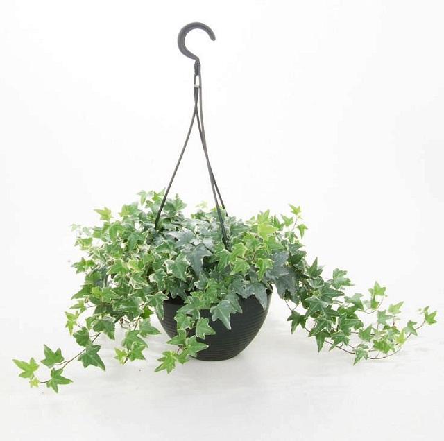 las mejores plantas para cestas colgantes 13 - Plantas Colgantes