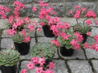 para-cultivar-graptopetalum-bellum-03