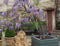 Gu a de jardiner a informaci n t nicas y consejos tiles part 3 - Glicinia en maceta ...