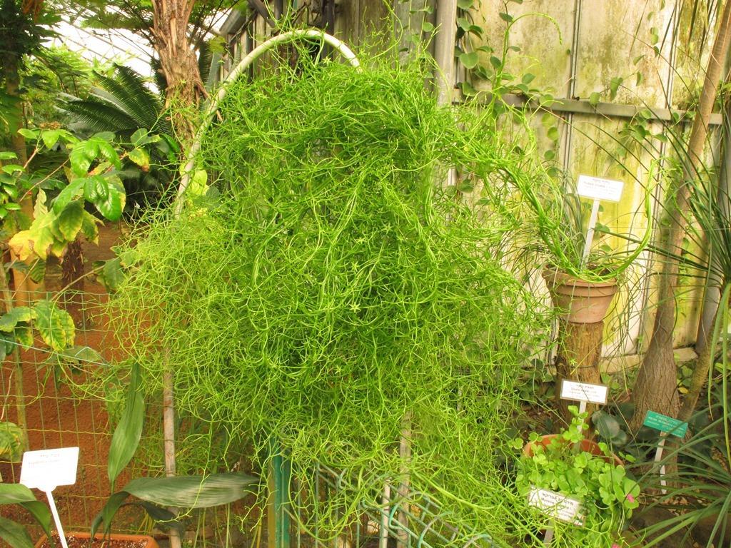 caracteristicas-y-cultivo-de-la-bowiea-volubilis-02