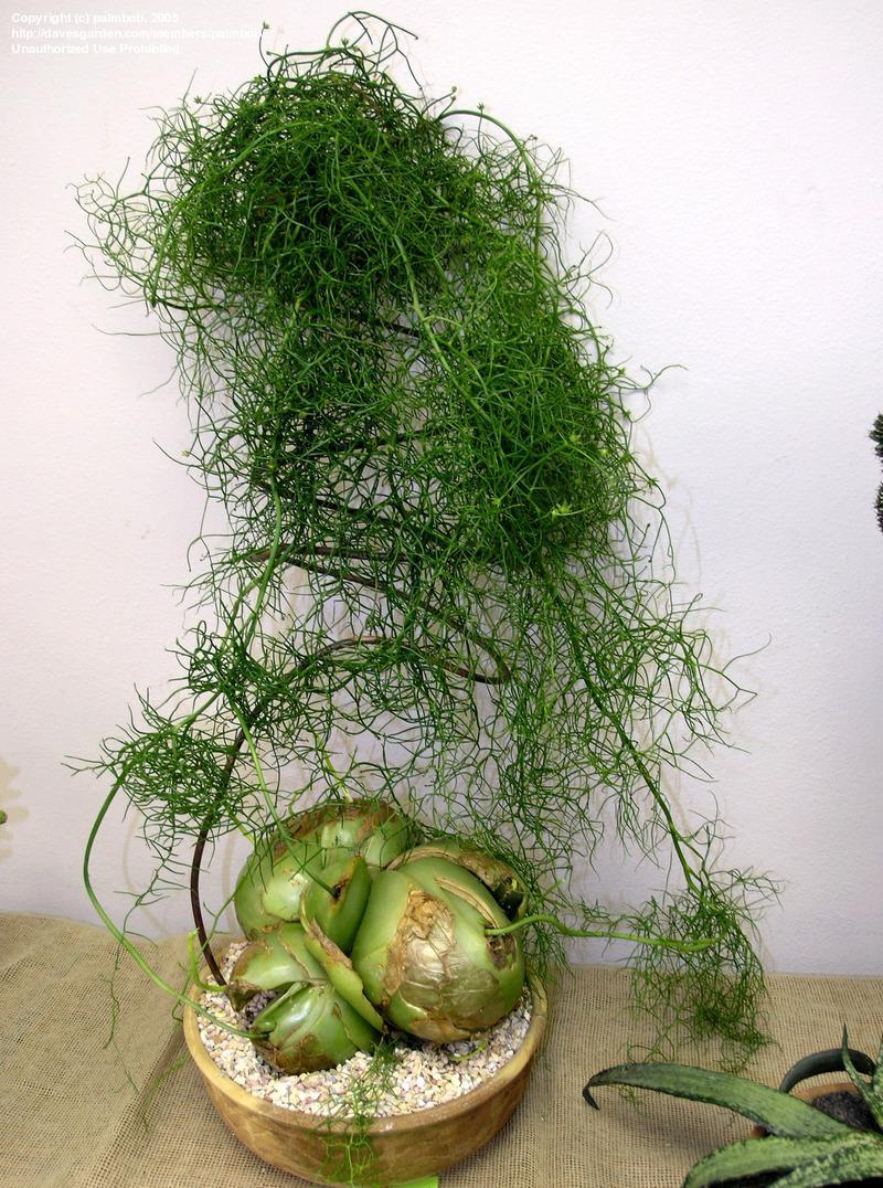 caracteristicas-y-cultivo-de-la-bowiea-volubilis-03