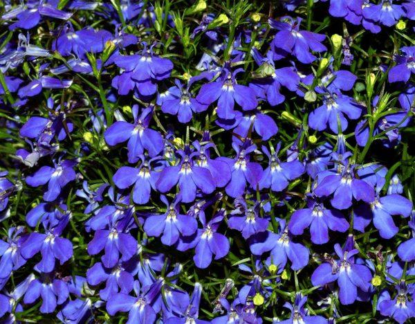 caracteristicas-y-cultivo-de-la-lobelia-azul-01