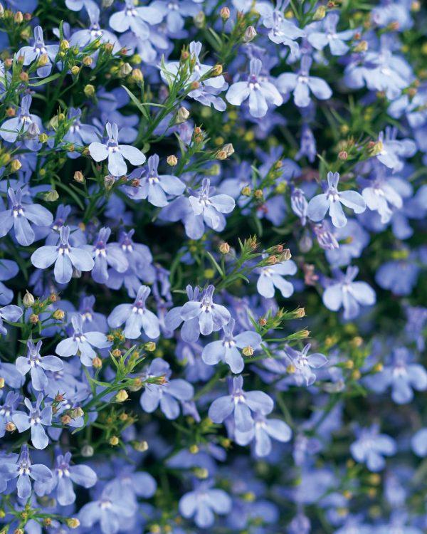 caracteristicas-y-cultivo-de-la-lobelia-azul-03
