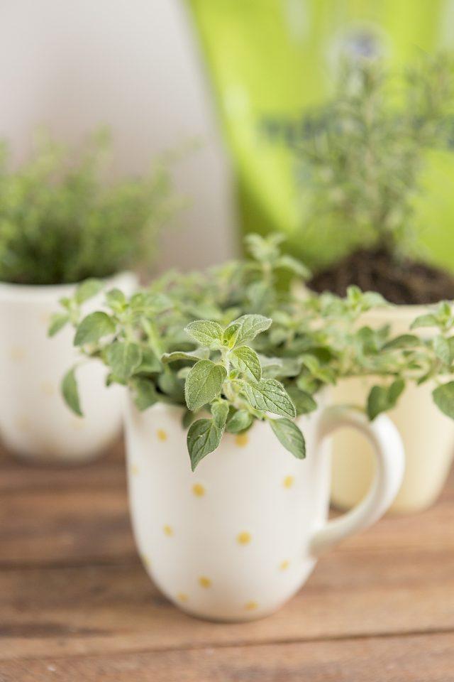 como-cultivar-hierbas-aromaticas-en-tazas-04