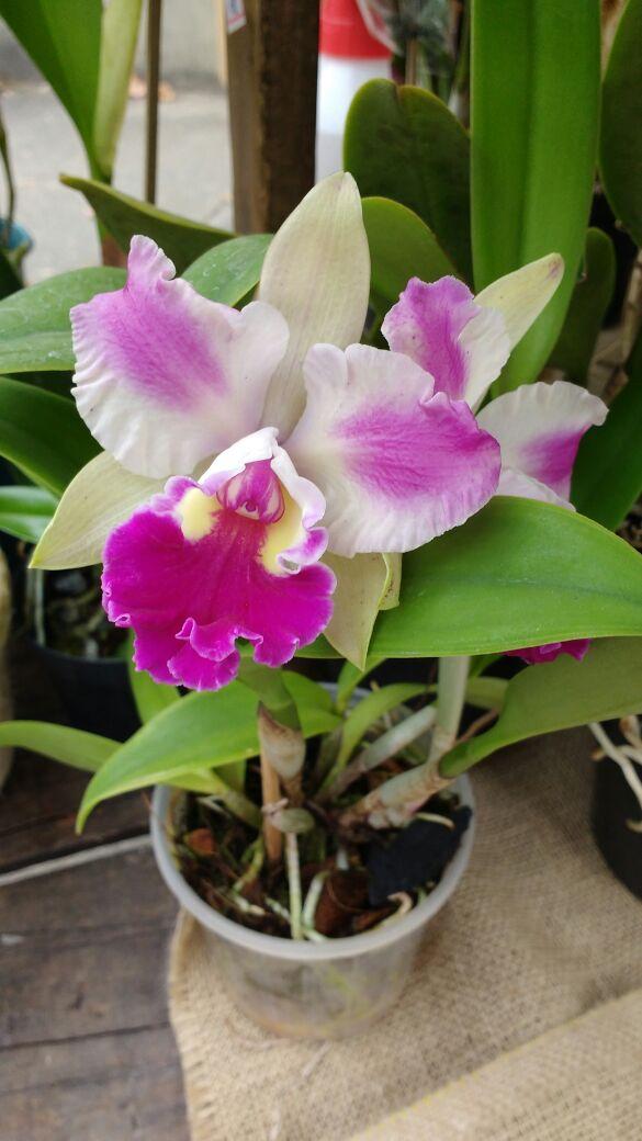 consejos para tener orquídeas saludables