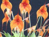 imagen Cuidados básicos de la orquídea Masdevallia