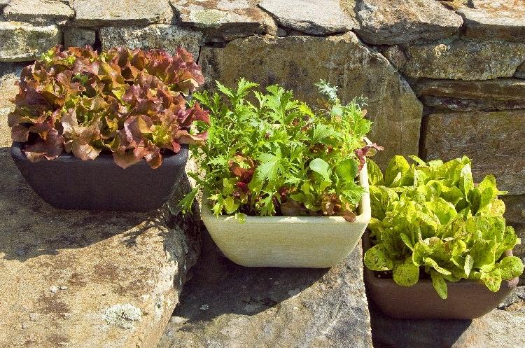 cultiva-tus-lechugas-en-maceta-01