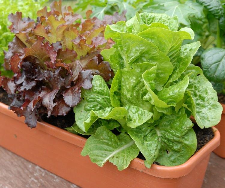 cultiva-tus-lechugas-en-maceta-02