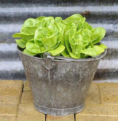 cultiva-tus-lechugas-en-maceta-03