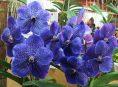 imagen Cultivo de la orquídea Vanda