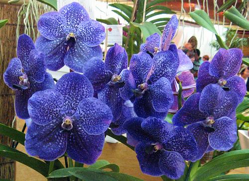 cultivo-de-la-orquidea-vanda-01