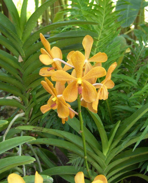 cultivo-de-la-orquidea-vanda-02